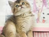 出售纯种家养渐层猫 疫苗齐包健康 全国包邮