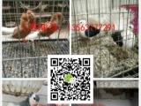 肉鸽落地王鸽、白羽王鸽、卡努鸽、球型鸽、种鸽、几十种观赏鸽
