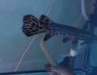 鹦鹉鱼、尖嘴雀鳝转让或换鱼