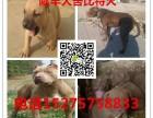 襄樊出售纯种比特犬,比特犬幼犬出售,哪里有比特犬出售