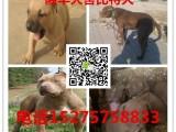 宜昌出售纯种比特犬,比特犬幼犬出售,哪里有比特犬出售