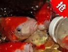 广州吃奶鱼批发20-45公分包活包吃奶