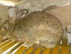 出售杂交野兔 种兔 提供养殖技术 签订回收合同