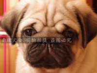 愁眉苦脸帅气巴哥犬 深圳买纯种健康巴哥犬必选 自家养殖场
