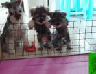 出售纯种雪纳瑞幼犬 健康保证 信誉保证 诚信保证欢迎上门看看