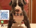 出售纯种比特犬疫苗驱虫已做齐全包健康签协议
