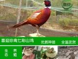 广东山鸡苗养殖场,广东山鸡养殖,广东野鸡苗养殖场