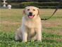 聪明可爱的拉布拉多幼犬出售啦 欢迎上门看狗