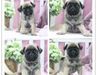 双血统巴哥幼犬 纯正血统 证书齐全 纯种健康质量