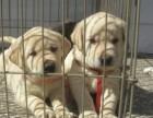 出售纯种双血统赛级拉布拉多幼犬神犬小七宠物狗狗活体