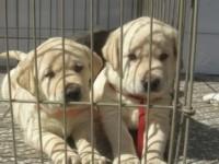 神犬小七同款 拉布拉多 导盲犬搜救犬 赛级纯种健康