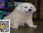 哪里有卖大白熊大白熊多少钱大白熊图片大白熊幼犬