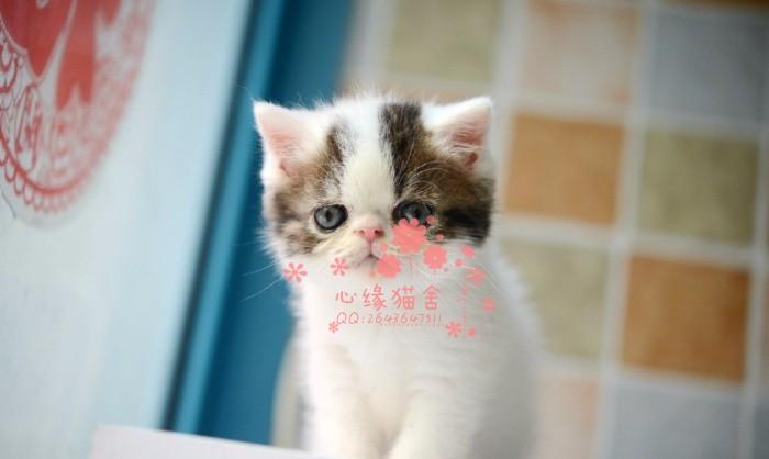 西安买卖宠物狗地方 西安哪里卖健康加菲猫价格便宜
