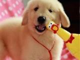 包防疫驱虫 可见狗父母 纯种金毛,包健康,送用品