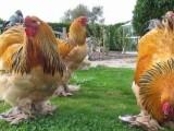 黃南大量供應各類觀賞雞 送貨上門