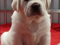 出售純種家養拉布拉多幼犬 包純種健康 包檢測