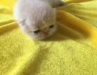 自家繁殖小加菲猫
