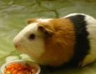 荷兰猪,天竺鼠。