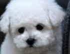 超可爱的小体玩具泰迪熊宝宝出售中保证健康保证纯种