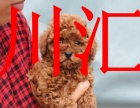 川汇家养泰迪犬,公母都有,可上门挑选可视频看狗送货