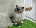 较大CFA认证猫舍自家繁殖纯种布偶猫 可上门 看父母