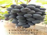 鹤壁葡萄苗 高纯度葡萄苗出售