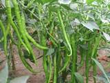 超高产线椒超长线椒卓越辣椒种子