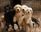 精品拉布拉多犬,养犬无忧,现场检测,不满意包退款