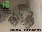 山东省野猪销售基地 出售纯种野猪 野猪的价格