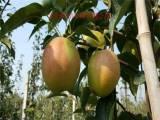 梨树苗种植基地  嫁接梨树苗基地