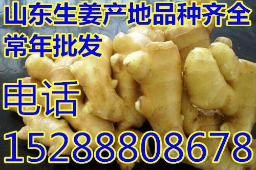 生姜种植基地出售 常年出售姜种