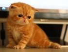 宁波哪里有加菲猫卖 自家繁殖 品相极佳 多只可挑