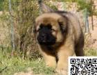 高加索犬纯正健康出售-幼犬出售,当地可以上门挑选