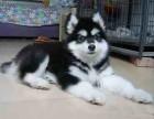 邢台哪有阿拉斯加犬卖 邢台阿拉斯加犬价格 阿拉斯加犬多少钱