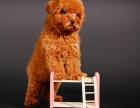 廊坊哪里有純種泰迪犬出售 純種泰迪多少錢 泰迪熊圖片