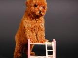 本溪哪里有泰迪犬出售 本溪泰迪价格 泰迪犬舍 泰迪好养吗