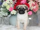 精品宠物繁殖基地长期出售巴哥幼犬 保证品质健康