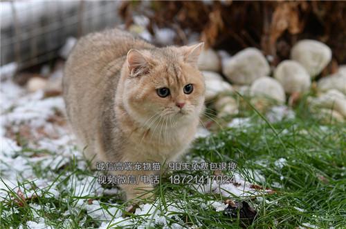 出售纯血统英国短毛猫英短蓝白渐层包纯种健康价格优惠