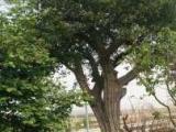 石榴樹價格、石榴樹苗、柿子樹、山楂樹、棗樹、核桃樹