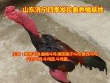 河北安新泰国斗鸡养殖场/越南斗鸡养殖基地