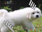 品质好一点的大白熊多少钱 要纯种品相好的