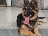 北京德国牧羊犬幼犬多少钱一只北京哪里有卖德牧 德国牧羊犬价格