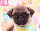 纯种八哥犬,精鼻筋,圆头,黑脸,粗骨量,专业繁殖