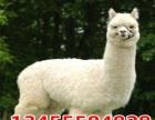 羊驼活体养殖 羊驼养殖价格 羊驼多少钱 宠物羊驼多少钱一只