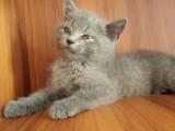 4只纯种蓝猫,大圆脸,两只折耳两只立耳