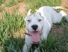 买高品质杜高幼犬 保健康纯种 签售后协议 基地直销