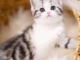 温州特价猫出售纯种健康有保证蓝猫渐层加菲布偶