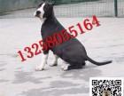 玉溪出售斯塔福犬的价格图片 半年斯塔福犬价格是多少