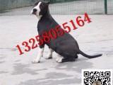 3-4个月的斯塔福犬幼犬好不好喂养 哪里有卖纯种斯塔福犬的