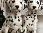 斑点狗宝宝 随时看狗 多窝选择 疫苗齐全
